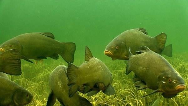 Линь-рыба-Описание-особенности-и-среда-обитания-рыбы-линь-4