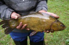 Линь рыба. Описание, особенности и среда обитания рыбы линь