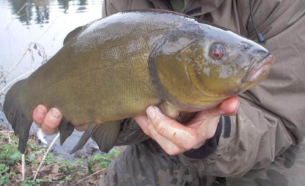 Линь-рыба-Описание-особенности-и-среда-обитания-рыбы-линь-9
