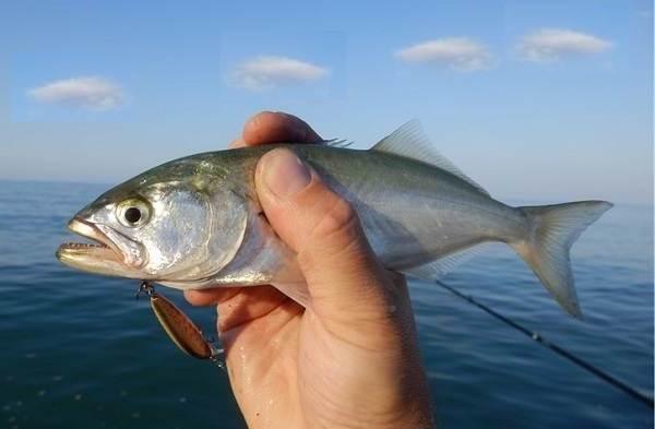 Луфарь-рыба-Описание-особенности-и-среда-обитания-рыбы-луфарь-1
