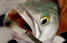 Луфарь рыба. Описание, особенности и среда обитания рыбы луфарь