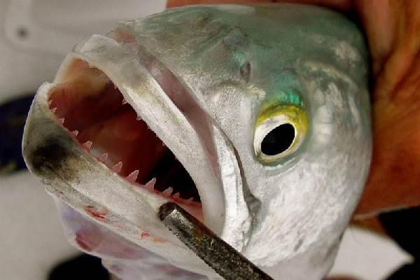 Луфарь-рыба-Описание-особенности-и-среда-обитания-рыбы-луфарь-3