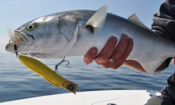 Луфарь-рыба-Описание-особенности-и-среда-обитания-рыбы-луфарь-4