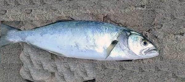 Луфарь-рыба-Описание-особенности-и-среда-обитания-рыбы-луфарь-5