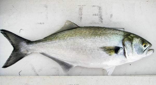 Луфарь-рыба-Описание-особенности-и-среда-обитания-рыбы-луфарь-6