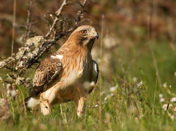 Орел-карлик-птица-Образ-жизни-и-среда-обитания-орла-карлика-1