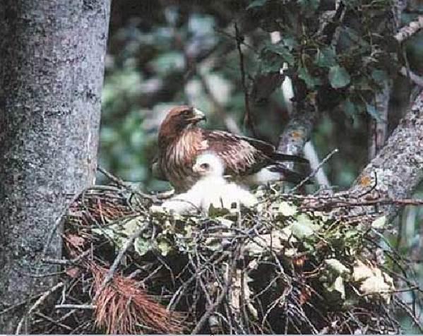 Орел-карлик-птица-Образ-жизни-и-среда-обитания-орла-карлика-10