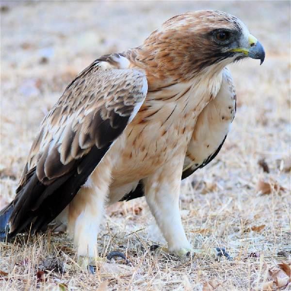 Орел-карлик-птица-Образ-жизни-и-среда-обитания-орла-карлика-2