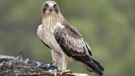 Орел карлик птица. Образ жизни и среда обитания орла карлика