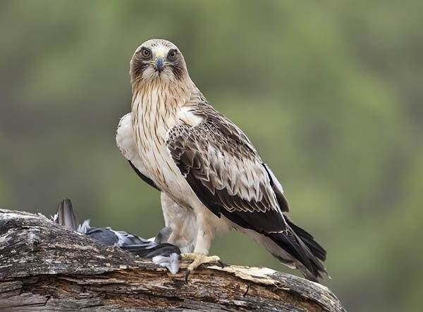 Орел-карлик-птица-Образ-жизни-и-среда-обитания-орла-карлика-3