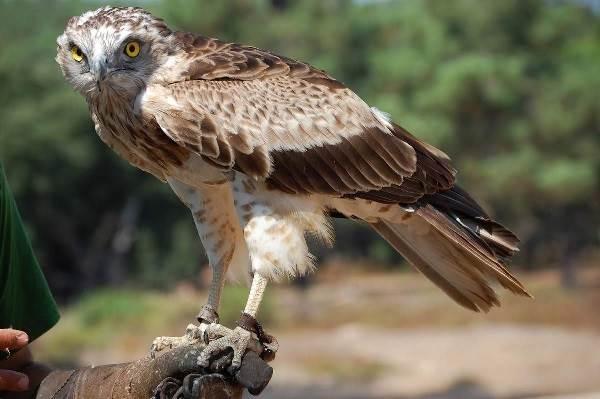Орел-карлик-птица-Образ-жизни-и-среда-обитания-орла-карлика-4