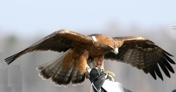 Орел-карлик-птица-Образ-жизни-и-среда-обитания-орла-карлика-5