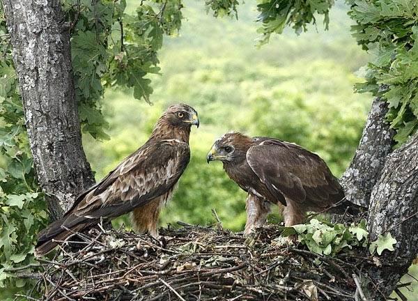 Орел-карлик-птица-Образ-жизни-и-среда-обитания-орла-карлика-6