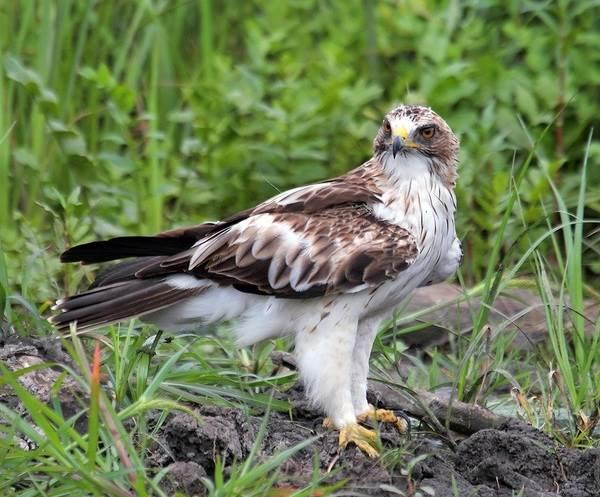 Орел-карлик-птица-Образ-жизни-и-среда-обитания-орла-карлика-8