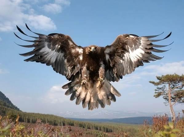 Орел-карлик-птица-Образ-жизни-и-среда-обитания-орла-карлика-9
