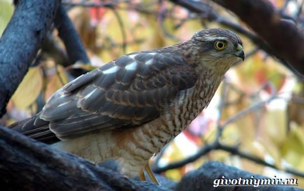 Перепелятник-птица-Образ-жизни-и-среда-обитания-перепелятника-1