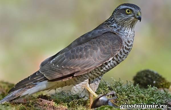 Перепелятник-птица-Образ-жизни-и-среда-обитания-перепелятника-2