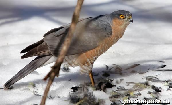Перепелятник-птица-Образ-жизни-и-среда-обитания-перепелятника-3