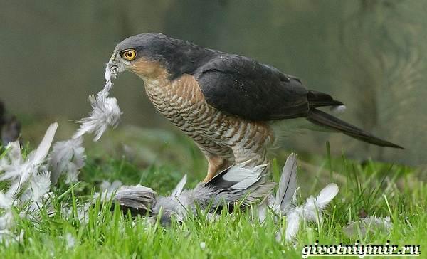 Перепелятник-птица-Образ-жизни-и-среда-обитания-перепелятника-4