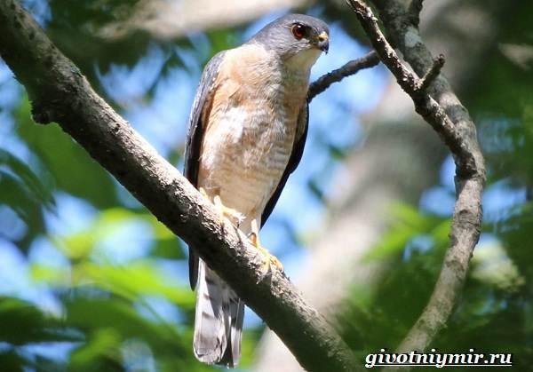Перепелятник-птица-Образ-жизни-и-среда-обитания-перепелятника-5