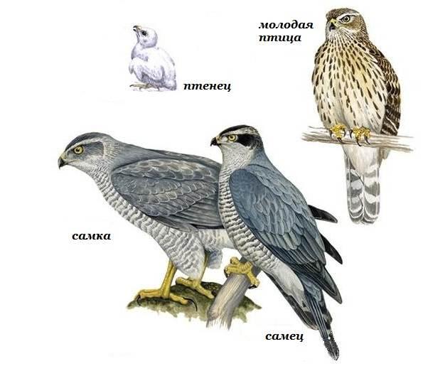 Перепелятник-птица-Образ-жизни-и-среда-обитания-перепелятника-8