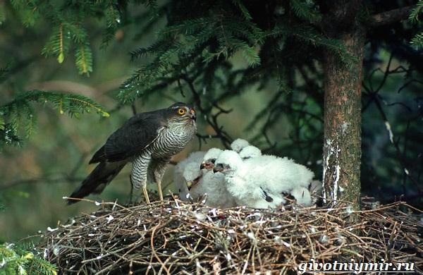Перепелятник-птица-Образ-жизни-и-среда-обитания-перепелятника-9