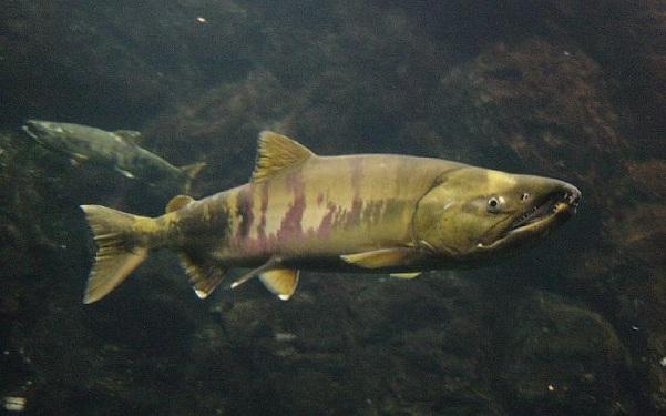Промысловая-рыба-Названия-описания-и-виды-промысловой-рыбы-20