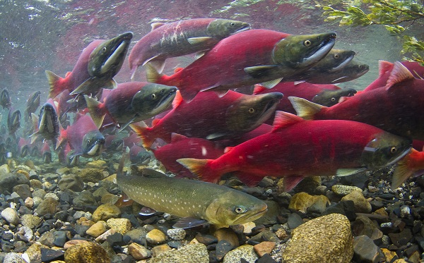 Промысловая-рыба-Названия-описания-и-виды-промысловой-рыбы-21