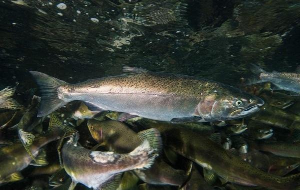 Промысловая-рыба-Названия-описания-и-виды-промысловой-рыбы-22