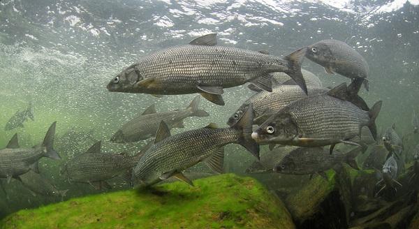 Промысловая-рыба-Названия-описания-и-виды-промысловой-рыбы-24