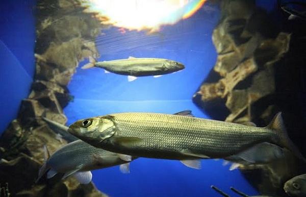 Промысловая-рыба-Названия-описания-и-виды-промысловой-рыбы-25