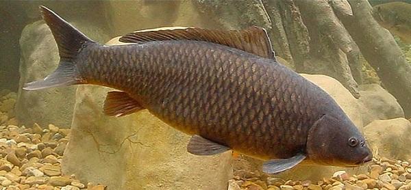 Промысловая-рыба-Названия-описания-и-виды-промысловой-рыбы-28