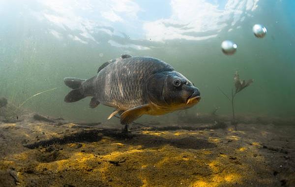 Промысловая-рыба-Названия-описания-и-виды-промысловой-рыбы-29