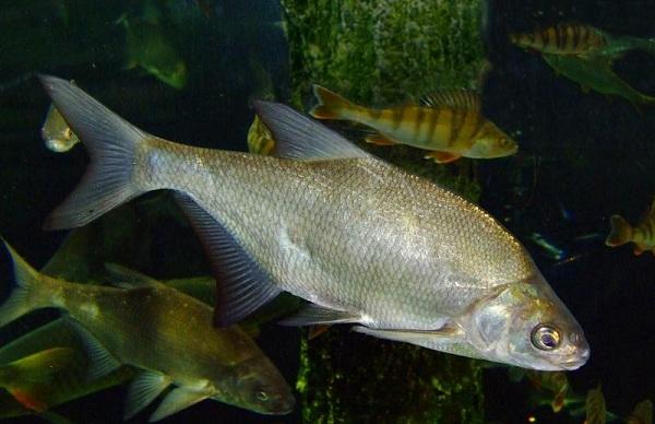 Промысловая-рыба-Названия-описания-и-виды-промысловой-рыбы-30