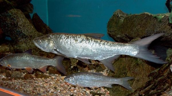 Промысловая-рыба-Названия-описания-и-виды-промысловой-рыбы-31