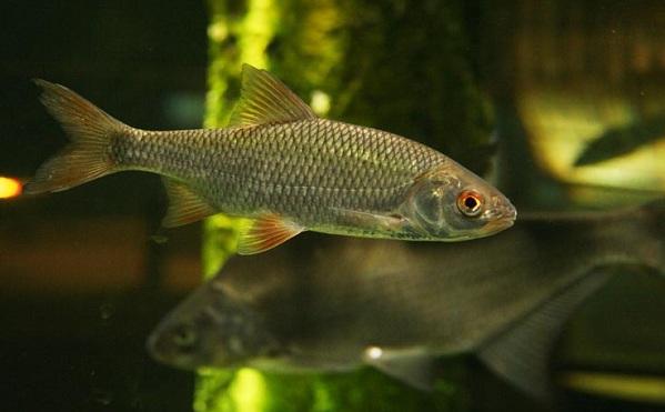 Промысловая-рыба-Названия-описания-и-виды-промысловой-рыбы-32