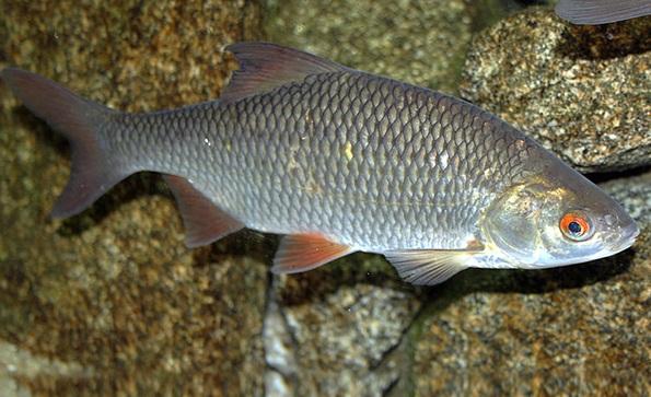 Промысловая-рыба-Названия-описания-и-виды-промысловой-рыбы-33