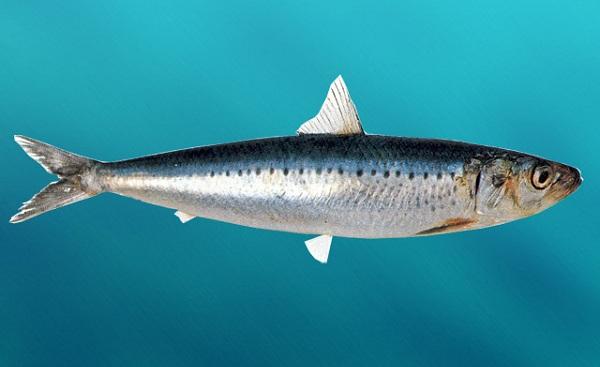 Промысловая-рыба-Названия-описания-и-виды-промысловой-рыбы-37