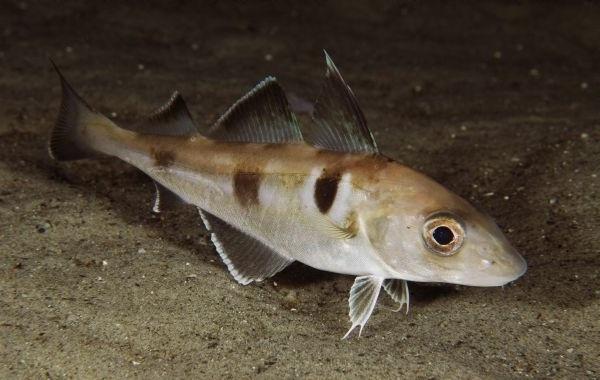 Промысловая-рыба-Названия-описания-и-виды-промысловой-рыбы-38