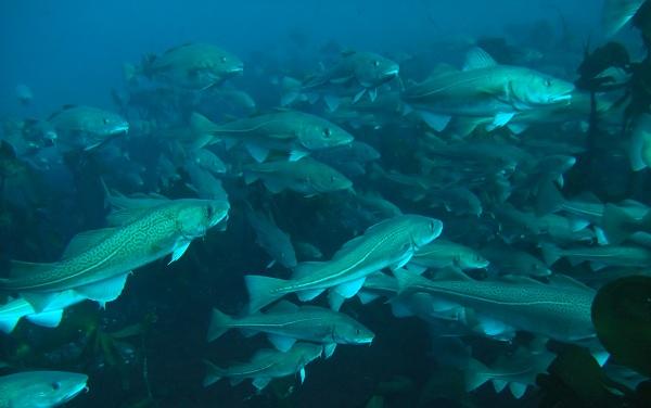Промысловая-рыба-Названия-описания-и-виды-промысловой-рыбы-41