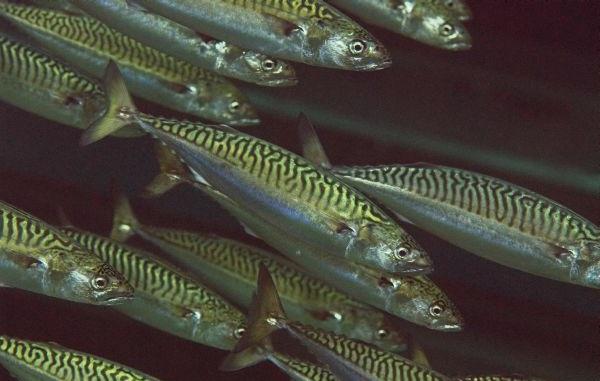 Промысловая-рыба-Названия-описания-и-виды-промысловой-рыбы-43