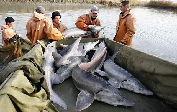 Промысловая-рыба-Названия-описания-и-виды-промысловой-рыбы-6