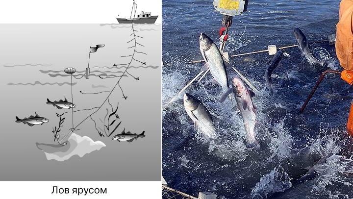 Промысловая-рыба-Названия-описания-и-виды-промысловой-рыбы-9