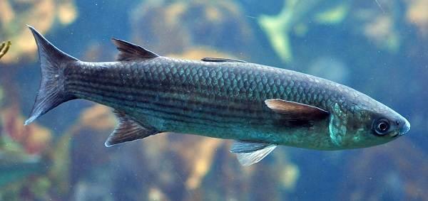 Рыбы-черного-моря-Названия-описания-и-особенности-рыб-черного-моря-13