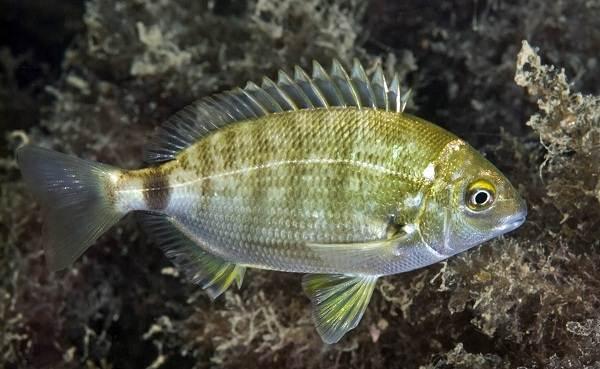 Рыбы-черного-моря-Названия-описания-и-особенности-рыб-черного-моря-2
