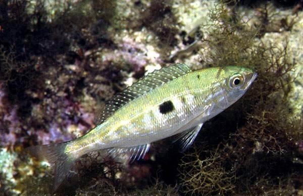 Рыбы-черного-моря-Названия-описания-и-особенности-рыб-черного-моря-20