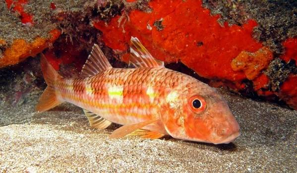 Рыбы-черного-моря-Названия-описания-и-особенности-рыб-черного-моря-23