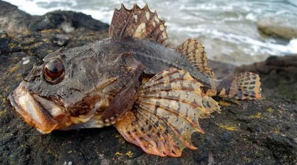 Рыбы-черного-моря-Названия-описания-и-особенности-рыб-черного-моря-26