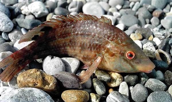 Рыбы-черного-моря-Названия-описания-и-особенности-рыб-черного-моря-28