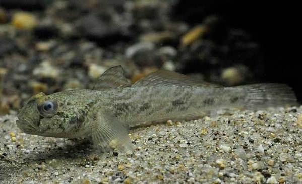 Рыбы-черного-моря-Названия-описания-и-особенности-рыб-черного-моря-29